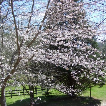 Dogwoods blooming on Kranberry Kathy's Dahlonega farm...